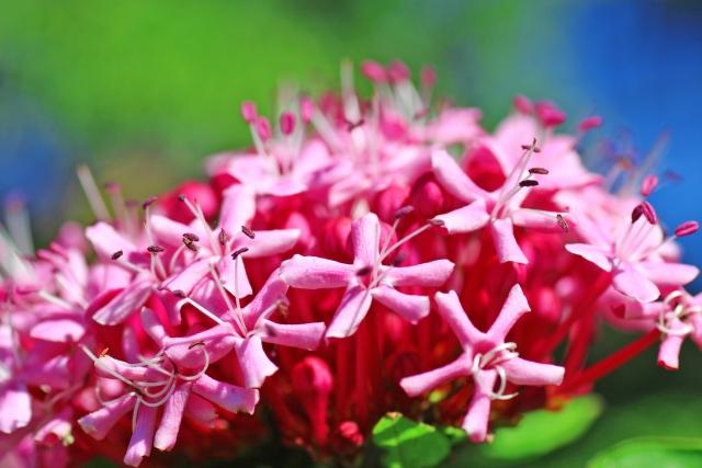 ボタンクサギとは?「臭木」という名前の由来や花言葉、育て方を紹介!