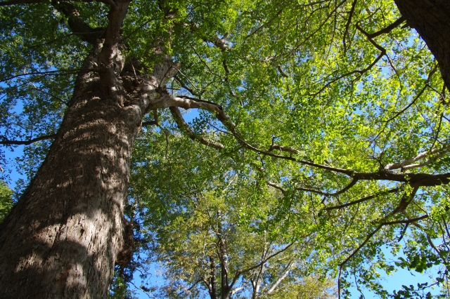 ムクノキ(椋木)とは?葉の特徴や用途、エノキ(榎)との違いを紹介!
