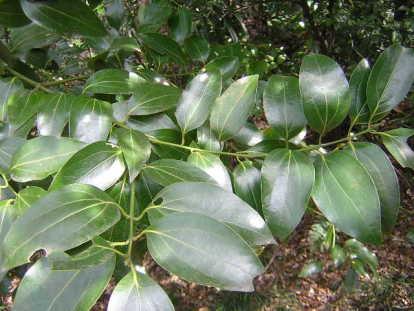 ヤブニッケイ(藪肉桂)とは?樹木の特徴や用途、ニッケイとの違いを紹介