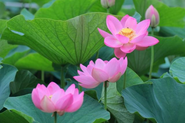 ビオトープにおすすめの水生植物27選!ベランダや室内でも育てられる?