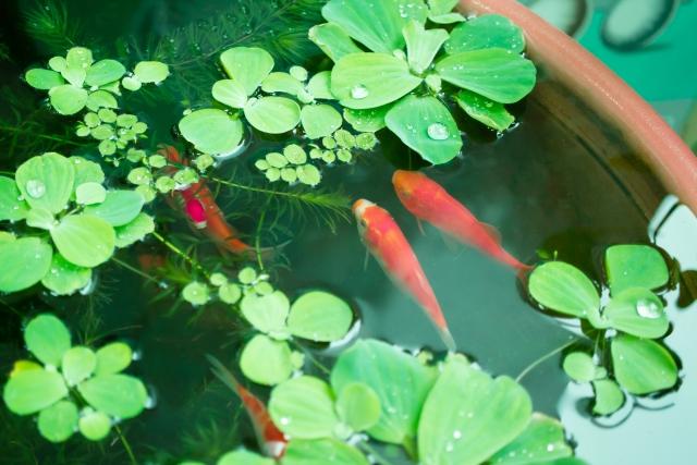 水生植物の育て方!ベランダでも楽しめる水質維持と管理のコツは?