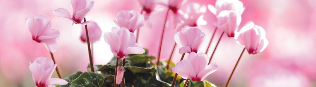 四季咲きのイメージ