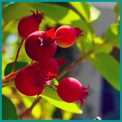 *berry*