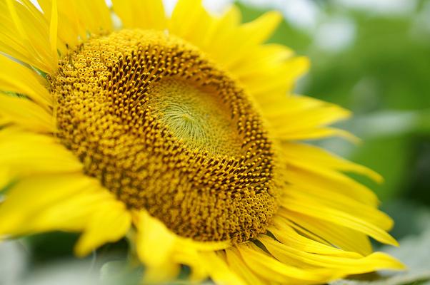 ヒマワリの花言葉や由来!夏らしくポジティブな恋愛の意味も!