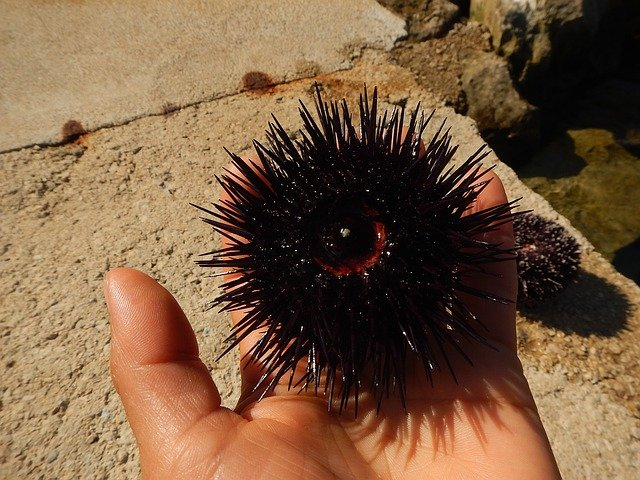 ウニのさばき方!ウニの種類と殻からの取り出し方や可食部を紹介!