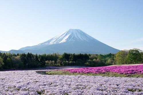 本栖湖の富士芝桜まつりへ行こう!時期・見頃・アクセスは?