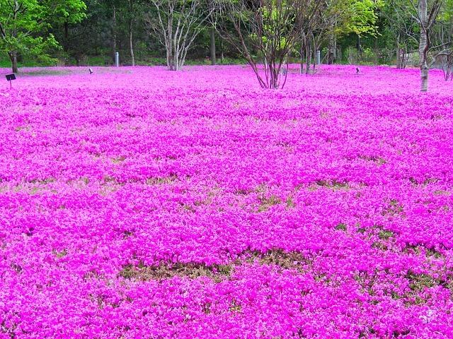 富士芝桜まつりのオススメ情報を紹介! 公園内のインスタ映えする撮影スポットも