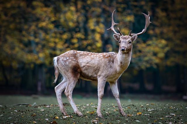 広島・宮島で鹿に会う前の注意点を解説!鹿の数や餌やり禁止の理由まで