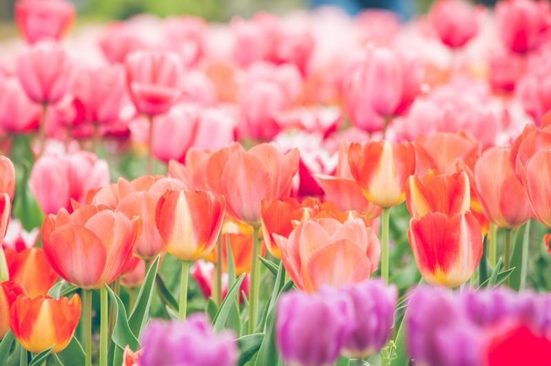 ハウステンボス春のおすすめチューリップ祭り!見ごろやインスタ映えスポットも