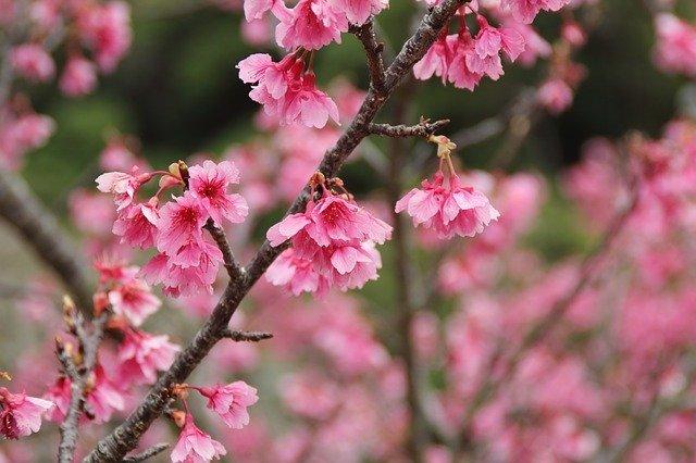 沖縄や鹿児島で見られるカンヒザクラを楽しもう!開花時期やお花見スポットは?