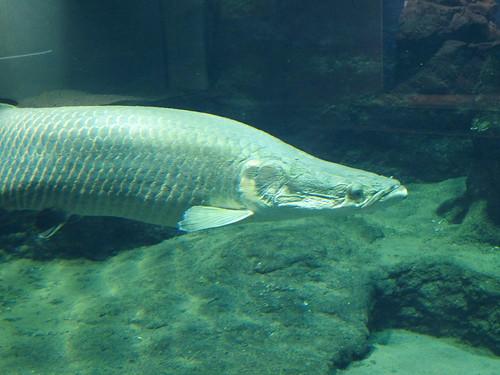 ピラルクを飼育している水族館情報まとめ!世界最大の淡水魚に会いに行こう!