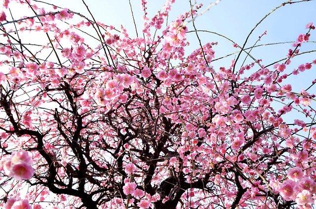千葉の梅の名所はどこ?おすすめスポットの見頃や梅まつり情報をまとめ