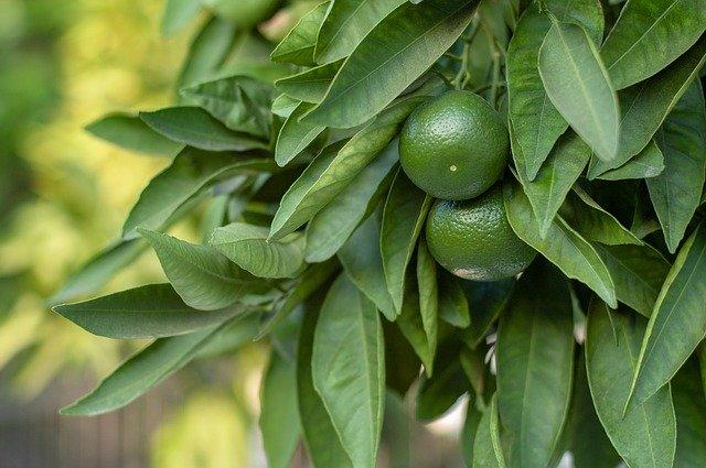 和歌山県発の幻の柑橘系果物「じゃばら」って?ジュースやじゃばら茶もおすすめ
