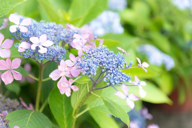 大阪・蜻蛉池公園はあじさいの名所!子どもも楽しめる人気スポットをご紹介