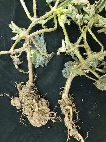 青枯病にかかった植物