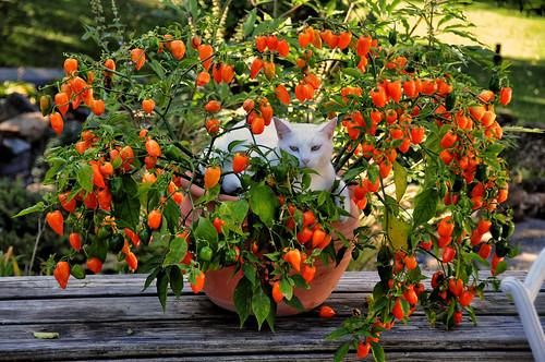 トウガラシの栽培