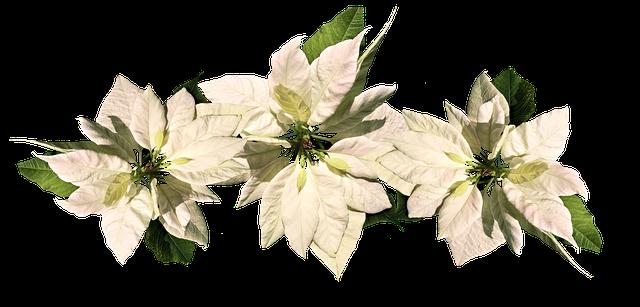 白のポインセチア