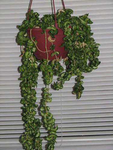 吊す観葉植物