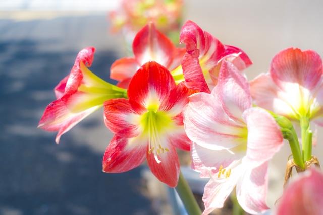 アマリリスの花言葉を色別に紹介!どんな人に贈るのがおすすめ?