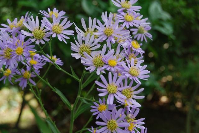 シオンの花言葉を色別に紹介!種類・開花する季節や育て方を解説!