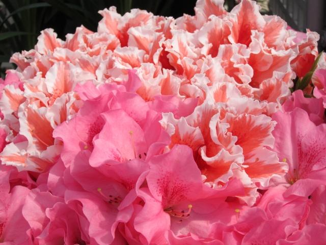 アザレアの花言葉を解説!赤・白・ピンクなど色別に込められた意味は?