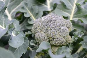 ブロッコリーの育て方まとめ!栽培方法のコツ・注意点や収穫時期とは?