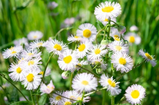意味 ハルジオン ハルジオンの花言葉と由来・貧乏草と言われる理由を紹介!