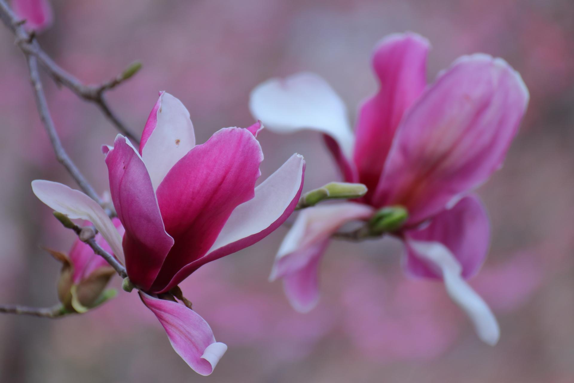 木蓮(モクレン)の花言葉は?香りなどの特徴に見頃の時期も紹介!