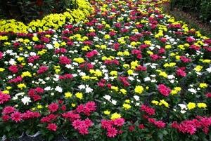 菊の花言葉とは?色・種類別の意味や由来・特徴も詳しく紹介!