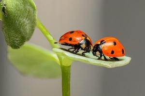 てんとう虫の種類・名前を詳しく紹介!特徴・生態や害虫・益虫の違いも解説