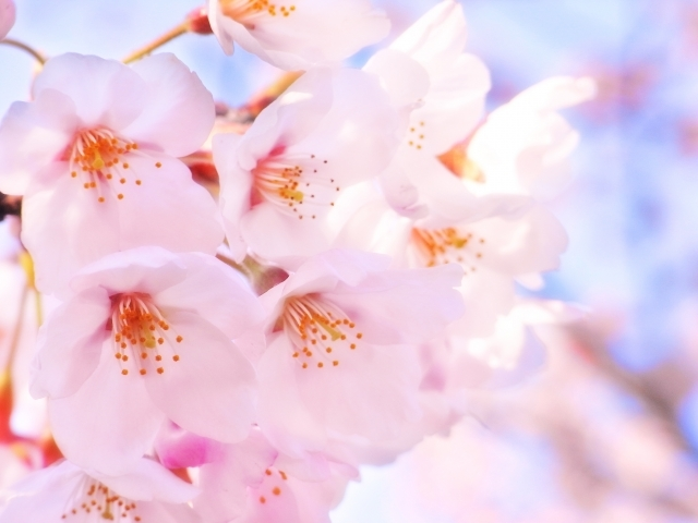桜の花言葉の意味とは?ソメイヨシノなど品種や色別に詳しくチェック!