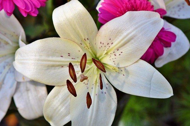 カサブランカの花言葉まとめ!色別の意味や由来を詳しくチェック!
