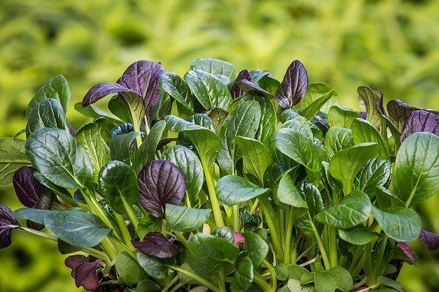 小松菜を生で食べよう!美味しい食べ方・レシピや栄養効果も解説!
