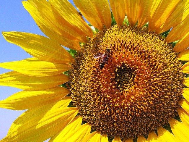 ひまわりの花言葉は色や種類で違う?明るい花の怖いと言われる理由も紹介