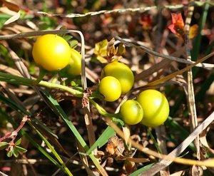 悪い茄子と言われるワルナスビの駆除方法は?生態や特徴を紹介!