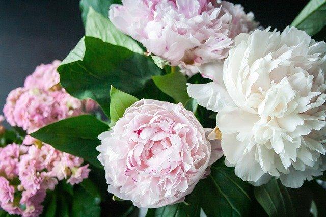 牡丹(ボタン)の花言葉は?特徴・品種・花名の由来も紹介!