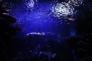 透明な頭を持つ深海魚デメニギスの特徴や生態は?不思議な姿の理由を知ろう