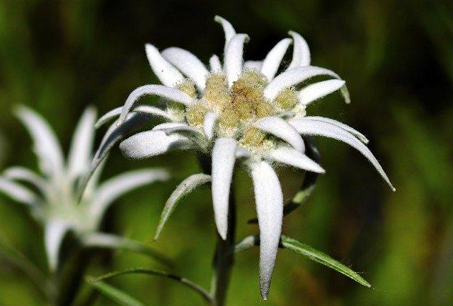 エーデルワイスの花言葉の意味・由来とは?種類・色・特徴もまとめて紹介!