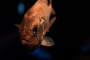 アブラソコムツは食べるとお尻から脂が漏れる?消化できない深海魚を紹介
