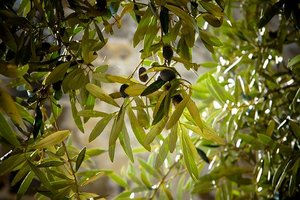 オリーブを挿し木で増やす方法!おすすめの時期ややり方のコツを詳しく解説!