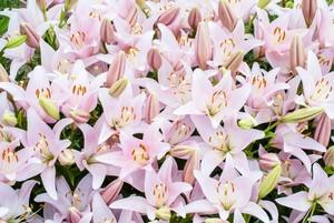 百合の花言葉の意味と由来を色・種類別で紹介!怖い言葉もあるって本当?