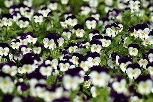 すみれの花言葉を種類や色別で紹介!由来や英語での意味もチェック!
