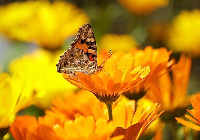マリーゴールドの花言葉は?色によって違う意味や由来・英語版もご紹介!