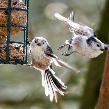シマエナガはかわいすぎると評判の人気の野鳥!生息地や鳴き声は?