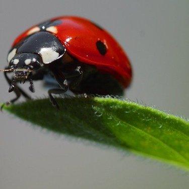 てんとう虫は幸運のシンボル?色やとまる場所によって意味や内容が変わる!