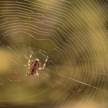 女郎蜘蛛は毒を持つ危険なクモ!生態や駆除方法・食べられるのか解説!