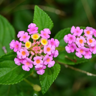 バーベナの花言葉をチェック!ピンクや紫など色や種類別の違いや特徴は?