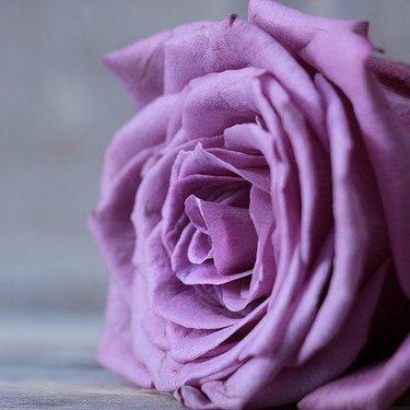 紫色のバラの花言葉をご紹介!本数や組み合わせによって意味合いが違う?