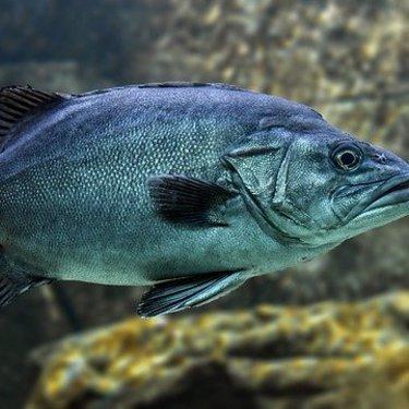 クエは幻の魚で価格も高級!生態・釣り方・おすすめの食べ方もご紹介