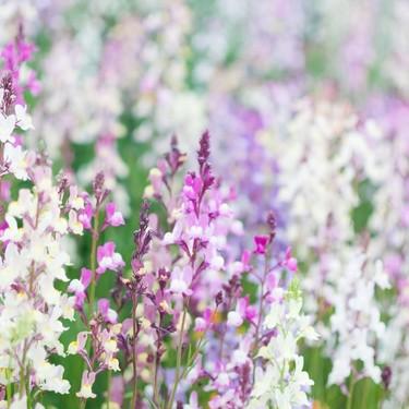 リナリアの花言葉は怖い?意味の由来や花の種類・特徴などまとめて解説!